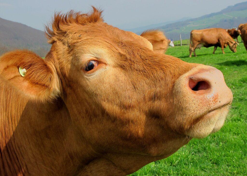 brown, cow, mammal