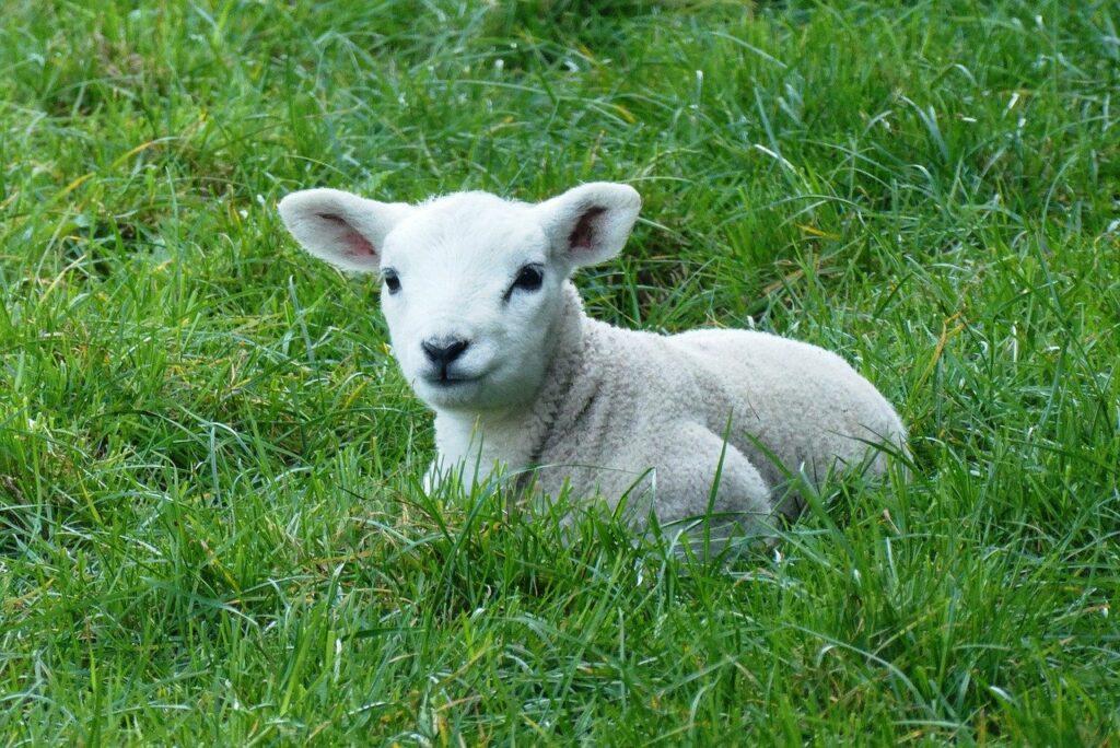lamb, spring, pasture